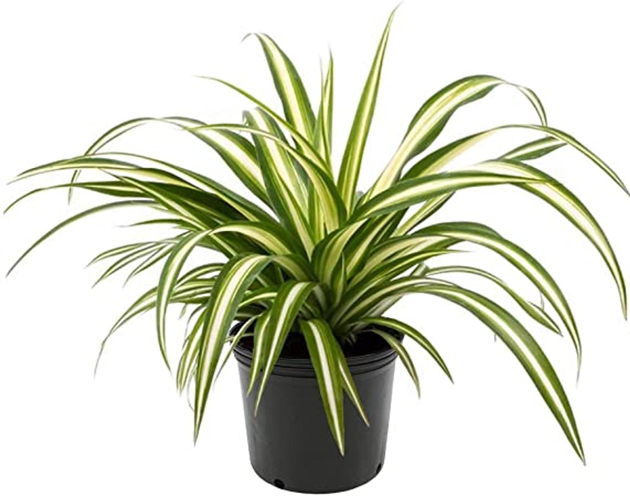 """Spider Plant Chlorophytum comosum 4"""" and 8"""" - Urban Garden Center"""
