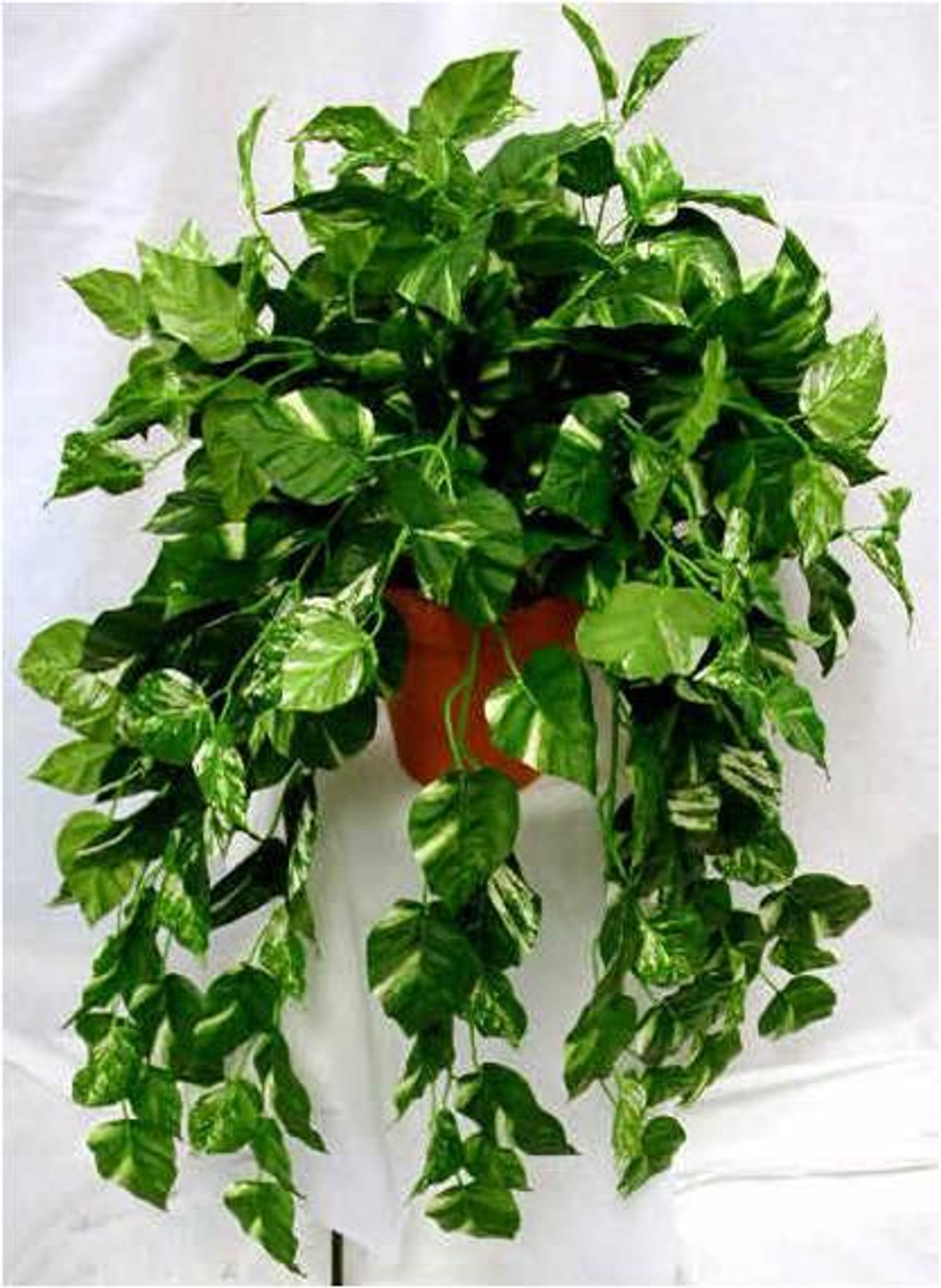 Pothos Gold Ivy - Urban Garden Center