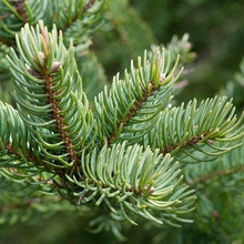 Balsam Fir Tree close-up