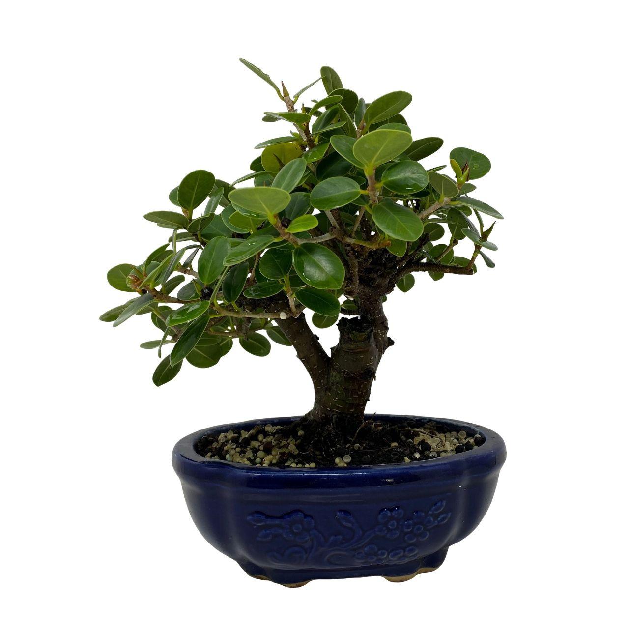Green Island Ficus Bonsai Tree Nebgw Com