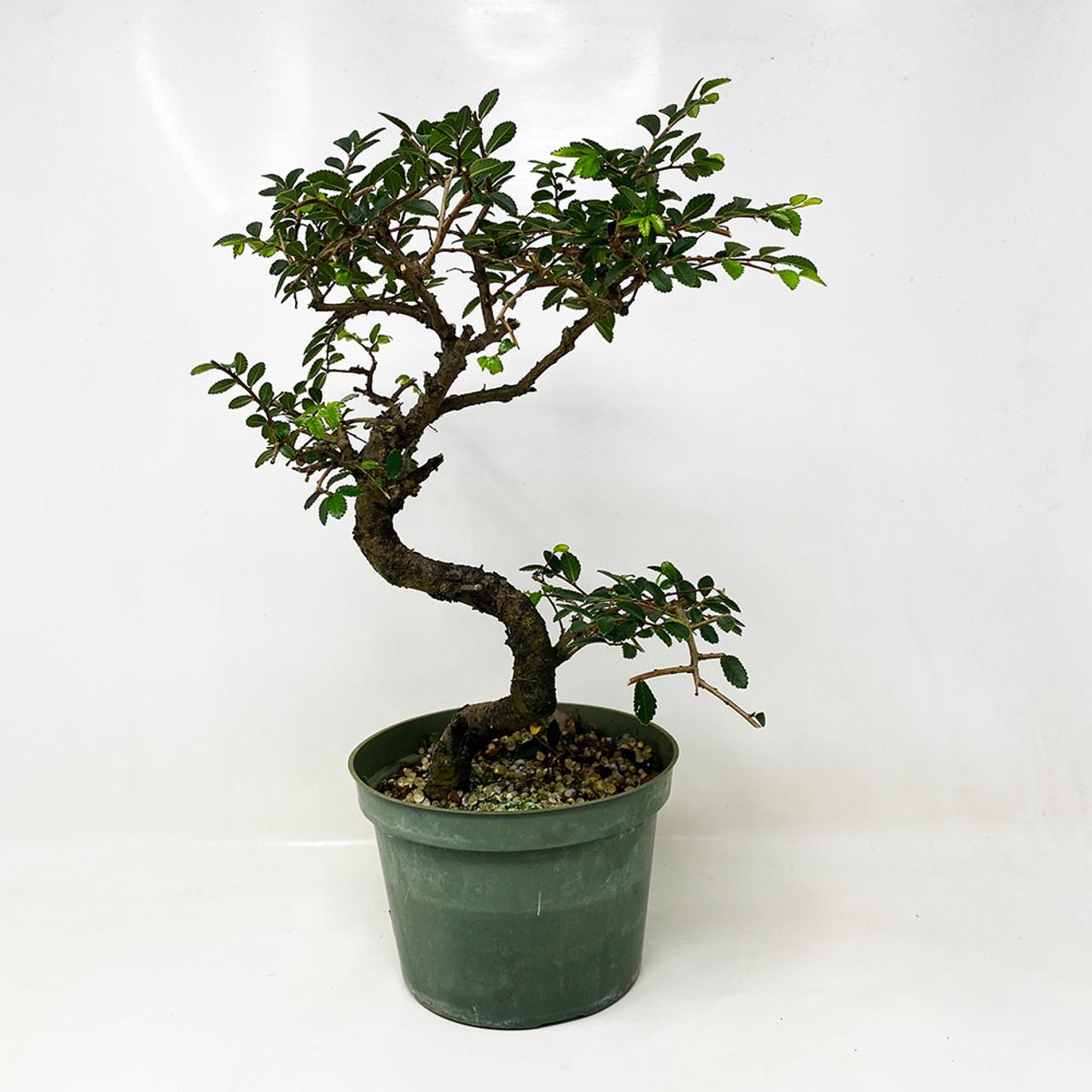 Chinese Elm 6 Pre Bonsai Tree At Nebgw Com