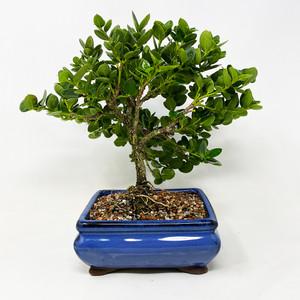 Bahama Berry Compact Bonsai Tree At Nebgw Com