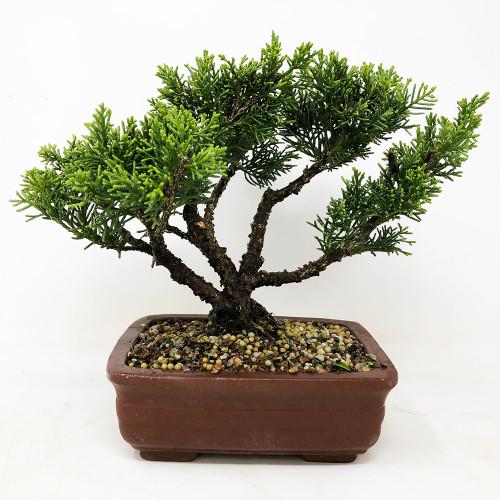 Juniperus Chinensis Shimpaku Pre Bonsai Nebgw Com