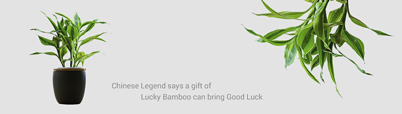 BuyLuckyBamboo: Online Shopping for Lucky Bamboos plants