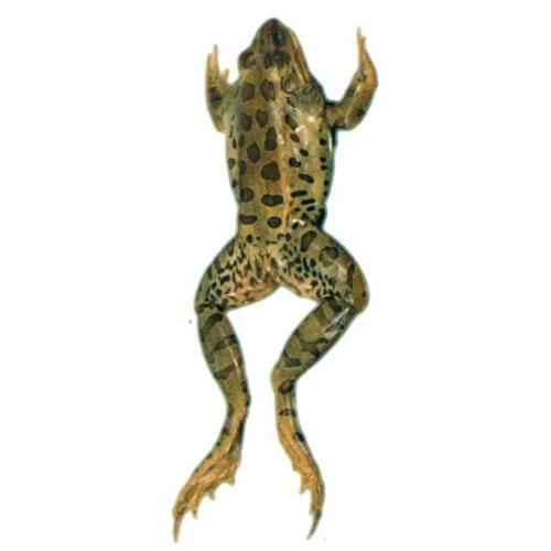 """Frog Specimen, Grass, 4.5""""-5.5"""", Double Injected"""