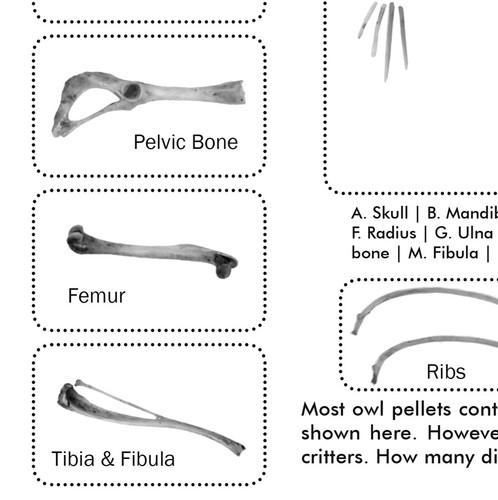 Owl Pellets for Classroom Study