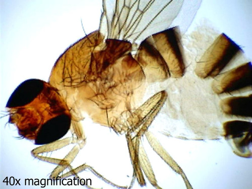 Fruit fly slide, male and female, w.m.