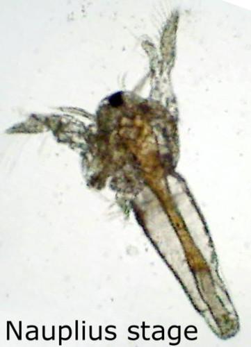 Brine Shrimp Eggs, 6g vial