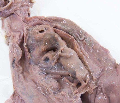 Sheep Uterus Specimen, Pregnant with Embryo