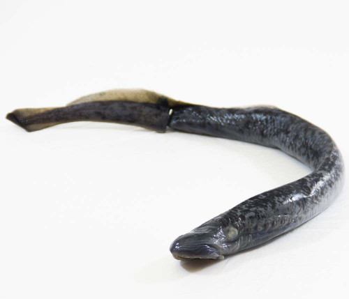 "Lamprey Specimen, 18""-28"", Double Injected"
