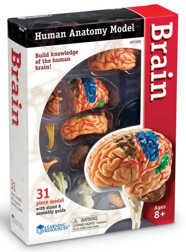 Brain Model, small