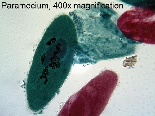 Protozoa Mix Slide, w.m.