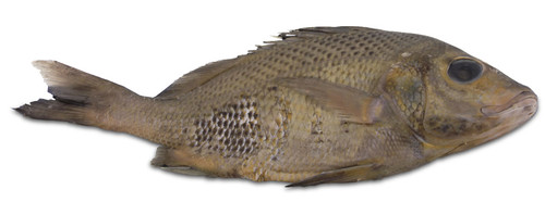 "Perch Specimen, Medium 7""-9"", Plain"