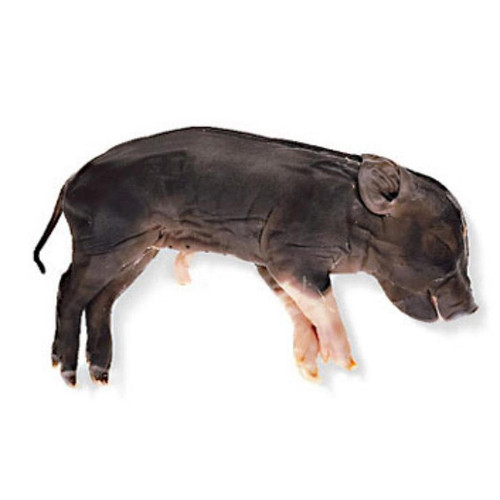 "Fetal Pig Specimen, 10""-13"", Double Injected"