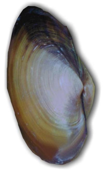 """Clam Specimen, Freshwater, 4""""-5"""", Plain"""