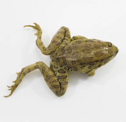 """Frog Specimen, Grass, 4.5""""-5.5"""", Plain"""