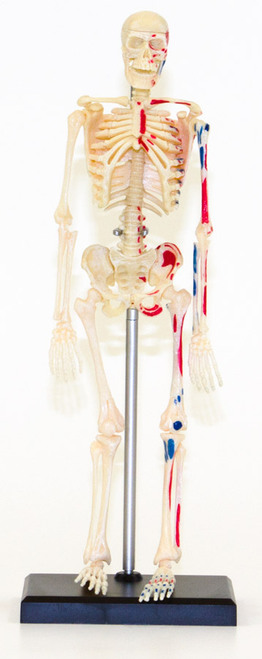 "Human Skeleton Model, 9.5"""
