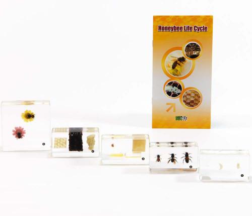 Honey Bee Life Cycle Set