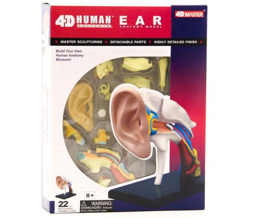 4D Human Anatomy Ear Model