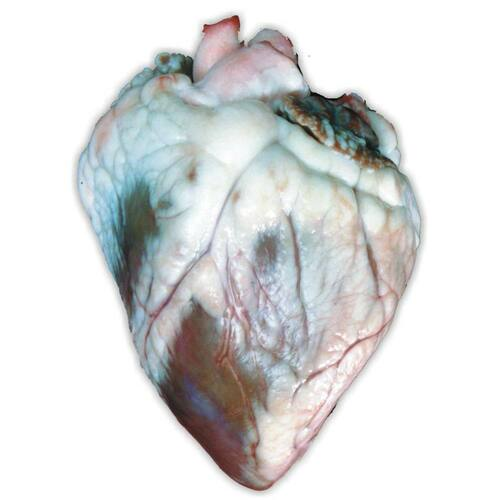 Sheep Heart Specimen