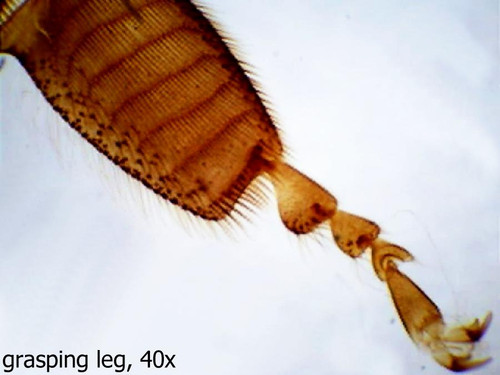 Insect legs slide, four types, w.m.