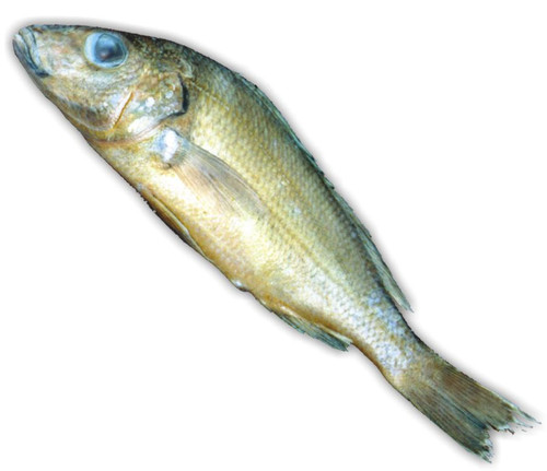 "Perch Specimen, Large 9""-12"", Plain"