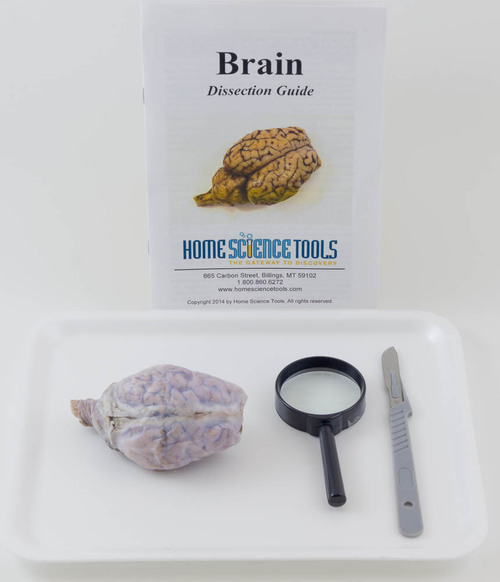 Sheep Brain Dissection Kit