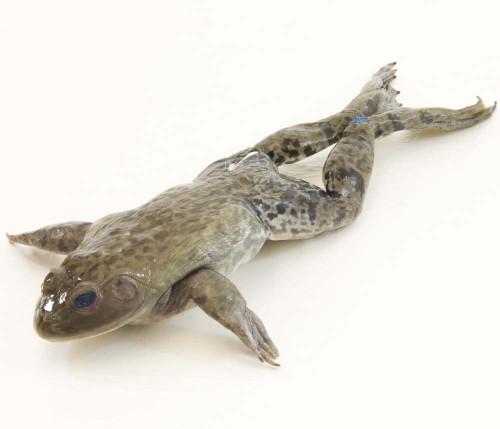 """Bullfrog Specimen, 6""""-7"""", Double Injected"""
