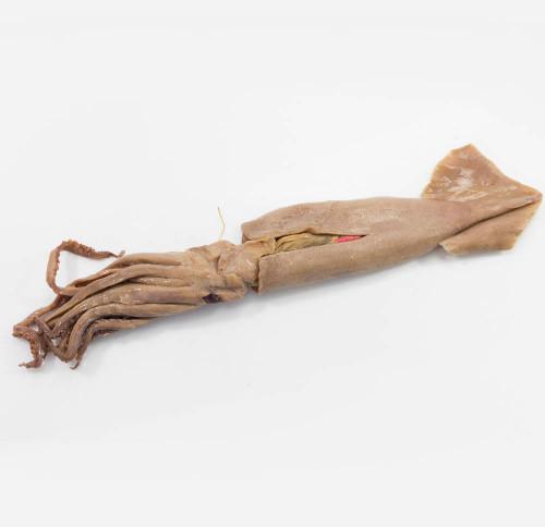 "Squid Specimen, 8""-12"", Single Injected"