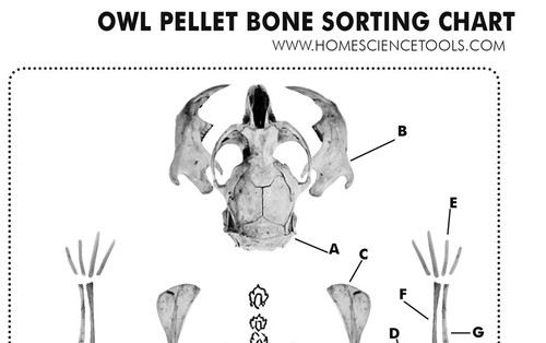 Owl Pellet Study Kit for Classrooms