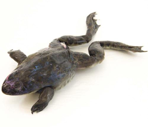 """Bullfrog Specimen, 5""""-6"""", Double Injected"""