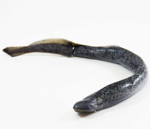 """Lamprey Specimen, 18""""-28"""", Double Injected"""