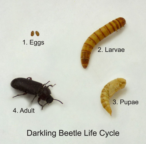 Beetle Life Cycle Kit