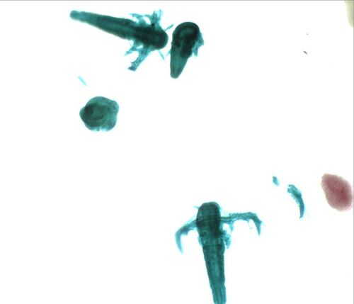 Artemia (brine shrimp) nauplius larvae, w.m.