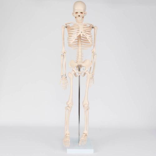 "Human Skeleton Model, 34"""