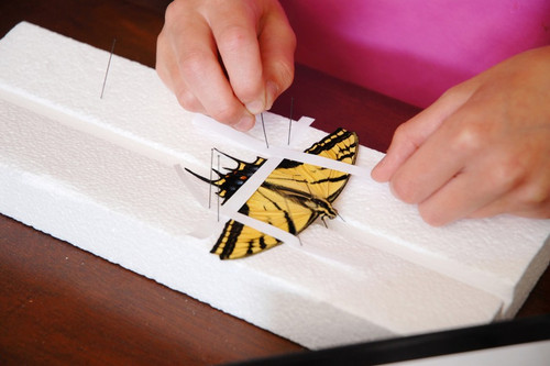 """Insect Spreading Board, 12"""" x 4"""""""