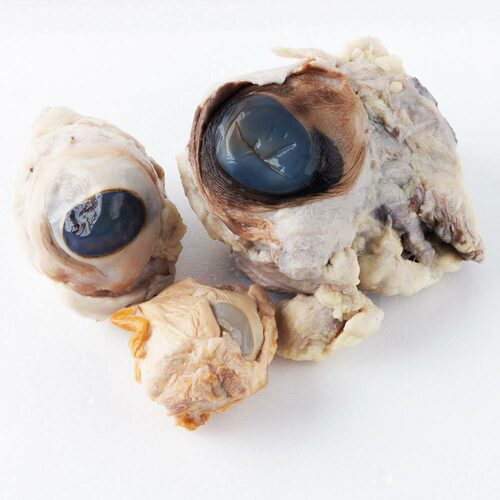 Comparative Eye Specimen Set - Cow, Sheep, Pig