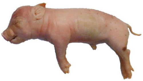 Fetal Pig Specimen 7 10 Double Injected
