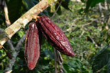 Cacao Seed Extract