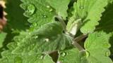 Catnip Herb Extract