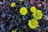 Coltsfoot Herb Extract