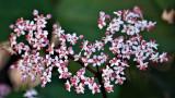 Elder Flower Extract