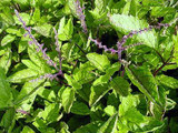 Holy Basil (Tulsi) Extract