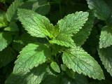 Lemon Balm (Melissa) Herb Extract