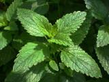 Melissa (Lemon Balm) Herb Extract