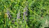 Motherwort Herb Extract