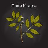 Muira Pauma Bark Extract