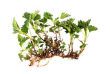 Nettle (Stinging) Root Extract