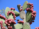 Nopal Cactus Extract