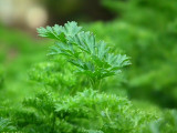 Parsley Leaf Extract